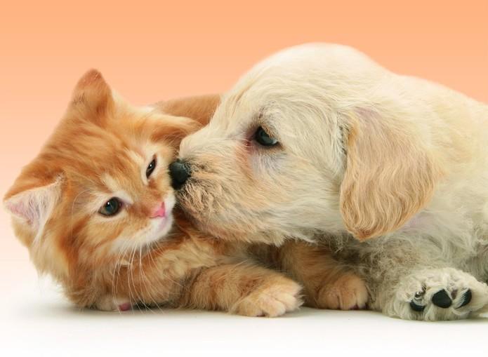 Labrador et chats